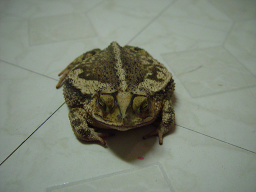 Our Pet Toad